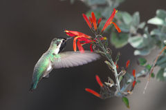 Costa's Hummingbird and chuparosa. These hummingbirds don't migrate, but spend the winter in low desert canyons.  The flower is chuparosa (Justicia californica Royalty Free Stock Photo