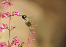 Costa`s Hummingbird Feeding on Soft Pink Flowers Royalty Free Stock Images
