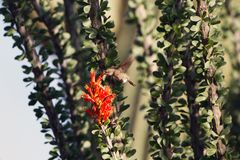 Costa`s Hummingbird feeds on the red flower of an Ocotillo cactus with a Giant Saguaro in the background. Female Costa`s Hummingbird feeds on a red-flowering stock photos