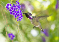 Costa's Hummingbird In Flight Royalty Free Stock Image