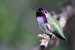 Costa's Hummingbird Iridescence Stock Image