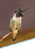 A Costa's Hummingbird Male Royalty Free Stock Photos