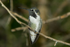 Costa's Hummingbird Stock Photo