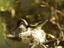 Costa ` s Hummingbird obsiadanie na gniazdeczku Obraz Stock