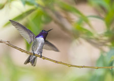 Costa's Hummingbird Royalty Free Stock Photo