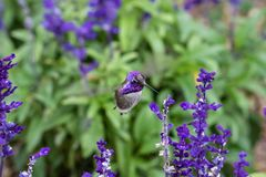 Costa`s hummingbird; purple head, feeding on purple flowers. Costa`s Hummingbird calypte costae hovering; bright purple head, feeding on purple flowers. In stock photography