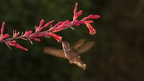Costa`s hummingbird and red yucca flowers