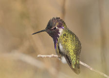 Costa's Hummingbird's Back Stock Images