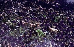 Costa Tidepool de Oregon Imagens de Stock Royalty Free