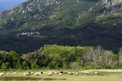 Flock of sheep and corsica village Stock Image
