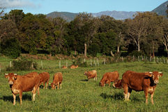 Herd of cows in corsica Royalty Free Stock Images