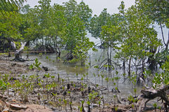 costal мангрова стоковая фотография