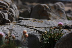 Costal shrub. Purple flowering plant growing between limestone rocks on the South Wales coast Stock Images
