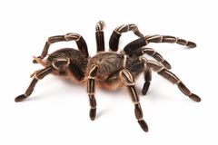 Costarican Zebra Tarantula, also known as the Striped-knee Tarantula Aphonopelma seemanni, this spider inhabits most of western Royalty Free Stock Photo