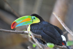 Costarikanska Toucan Arkivbild