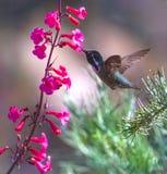 Costas Hummingbird Royalty Free Stock Images