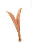 Costata de Anisoptera foto de archivo