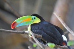 Costela Rican Toucan fotografia de stock