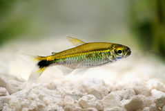 Costello tetra Hemigrammus hyanuary aquarium fish green neon royalty free stock image