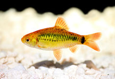 Costello tetra Hemigrammus hyanuary aquarium fish green neon stock photos
