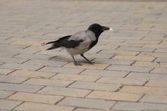Costi del corvo sui blocchi di pietra Immagine Stock Libera da Diritti