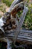 Costillas curvadas del cactus muerto del Saguaro Fotos de archivo libres de regalías