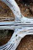 Costillas muertas del cactus del Saguaro en la tierra Imágenes de archivo libres de regalías