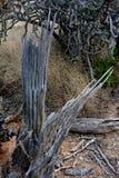 Costillas muertas del cactus del Saguaro que señalan a la derecha Fotografía de archivo