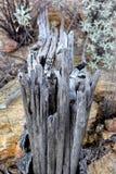 Costillas quebradas del cactus del Saguaro Foto de archivo libre de regalías