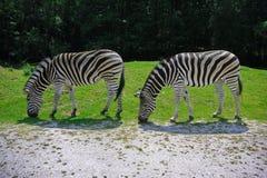 Costole di safari Immagine Stock Libera da Diritti
