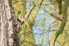 Costruzione del nido Fotografia Stock Libera da Diritti