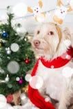 Costume de port de Noël de chien Année du concept de chien Image stock