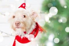 Costume de port de Noël de chien Année du concept de chien Photo libre de droits