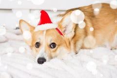 Costume de port de Noël de chien de corgi de Gallois Année du concept de chien Photographie stock libre de droits
