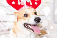 Costume de port de Noël de chien de corgi de Gallois Année du concept de chien Image libre de droits