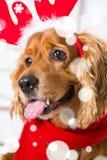 Costume de port de Noël de chien d'épagneul Année du concept de chien Images libres de droits