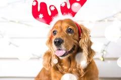 Costume de port de Noël de chien d'épagneul Année du concept de chien Image stock