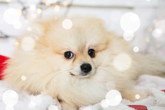 Costume de port de Noël de chien de Pomeranian Année du concept de chien Images stock
