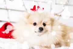 Costume de port de Noël de chien de Pomeranian Année du concept de chien Photo libre de droits