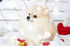 Costume de port de Noël de chien de Pomeranian Année du concept de chien Images libres de droits