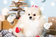 Costume de port de Noël de chien de Pomeranian Année du concept de chien Image stock