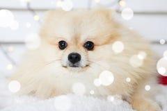 Costume de port de Noël de chien de Pomeranian Année du concept de chien Photos libres de droits