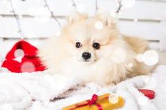 Costume de port de Noël de chien de Pomeranian Année du concept de chien Photographie stock