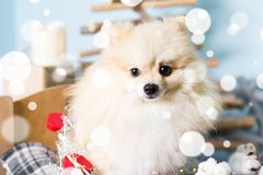 Costume de port de Noël de chien de Pomeranian Année du concept de chien Photo stock