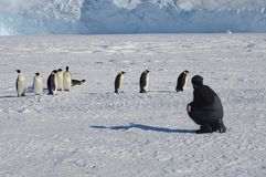 Colony, flock - Emperor Penguins in Antarctica. Penguins stand in the snow on a sunny day. Young man watching .Overall plan. vector illustration