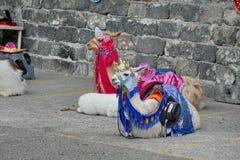 Costumed lamy obraz royalty free