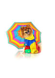 Costumed Pomeranian Rainy Royalty Free Stock Photos