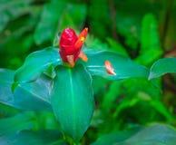 costus kwiatu imbiru imienia naukowy speciosus Zdjęcia Royalty Free