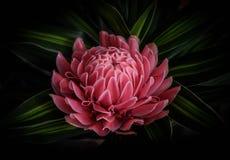costus kwiatu imbiru imienia naukowy speciosus Fotografia Royalty Free