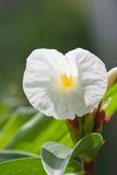 Costus-speciosus Blume lizenzfreie stockbilder
